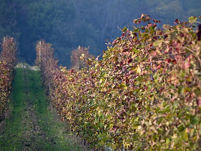 Vines in Piedmont. Autumn.